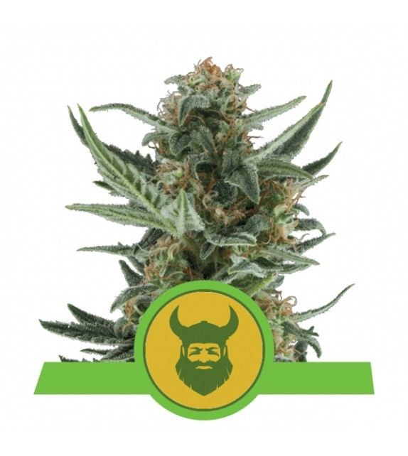 Royal Queen Seeds - Royal Dwarf