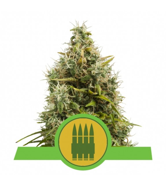 Royal Queen Seeds - Royal AK Automatic