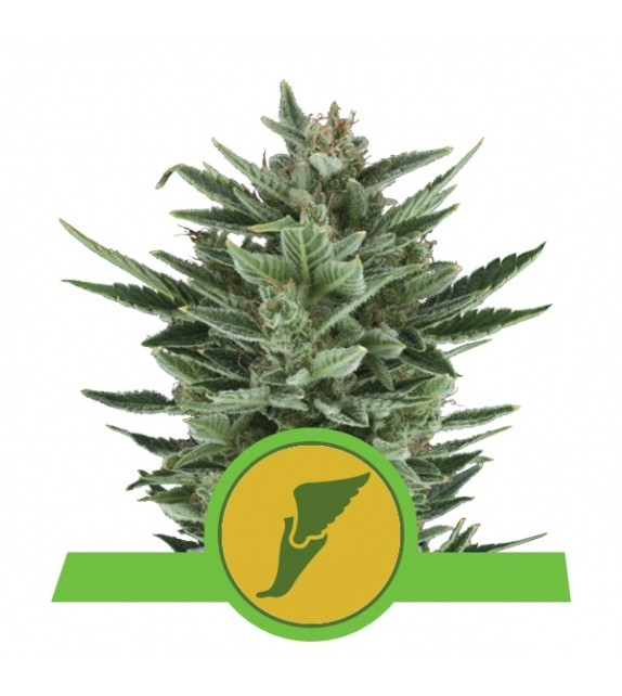 Royal Queen Seeds - Quick One